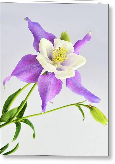 Greeting Card featuring the photograph  Purple Columbine by Ann Bridges