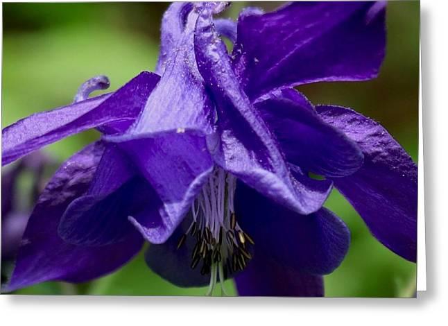 Purple Columbine Greeting Card