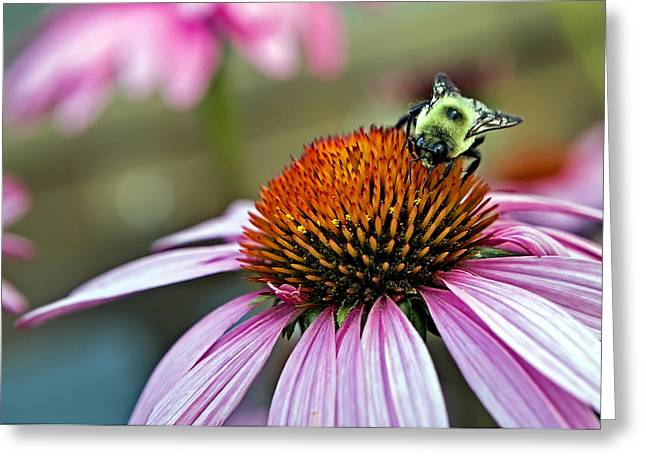 Purple Cone Flower And Bee Greeting Card