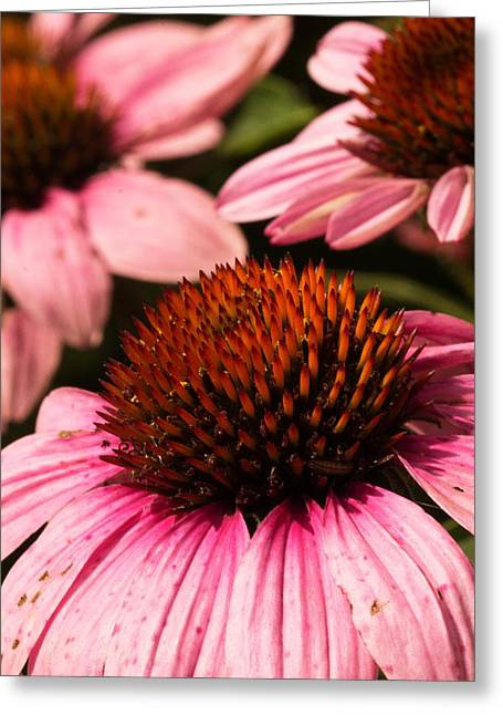 Purple Cone Flowers Greeting Card