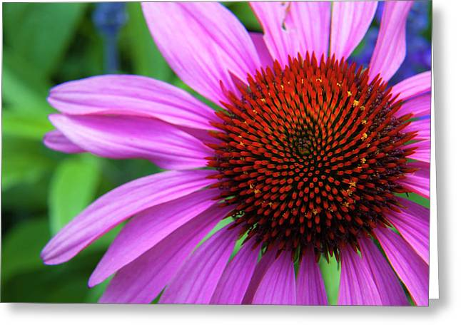 Greeting Card featuring the photograph Purple Coneflower by Mark Mille