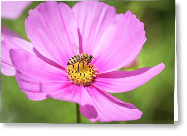 Purple Cosmos And The Honey Bee 2017 Greeting Card