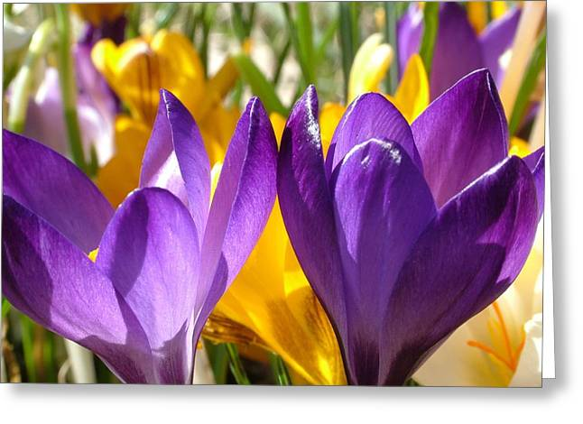 Purple Crocuses Greeting Card