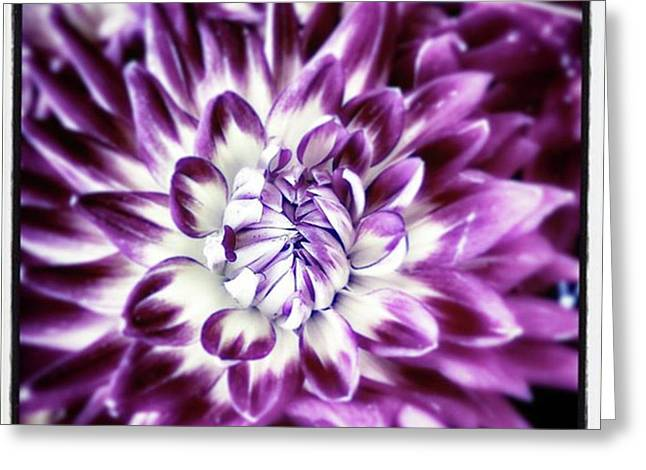 Greeting Card featuring the photograph Purple Dahlia. A Color Variation Of The by Mr Photojimsf