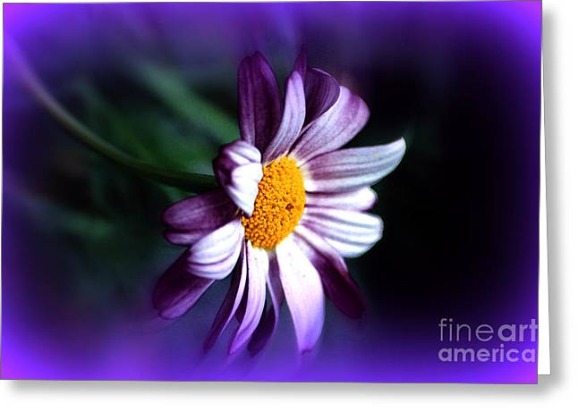 Purple Daisy Flower Greeting Card