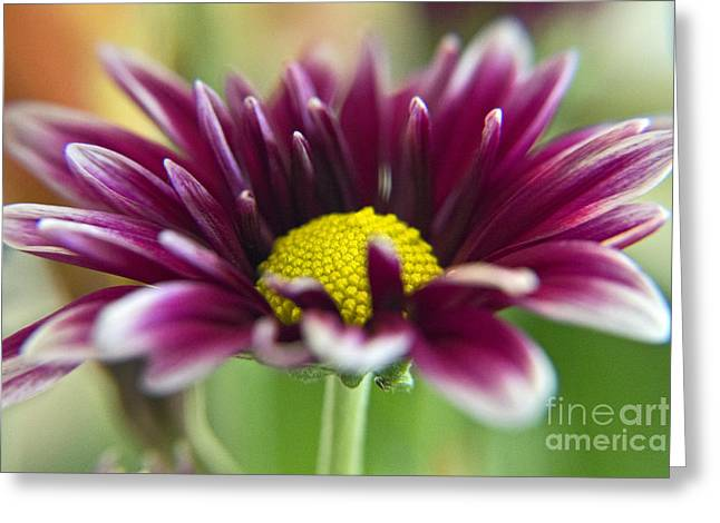 Purple Daisy Greeting Card by Kelly Holm