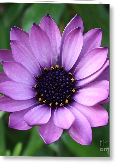 Best Sellers -  - Square Format Greeting Cards - Purple Daisy Square Greeting Card by Carol Groenen