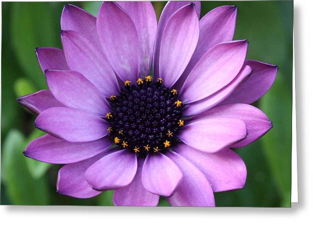 Purple Daisy Square Greeting Card by Carol Groenen