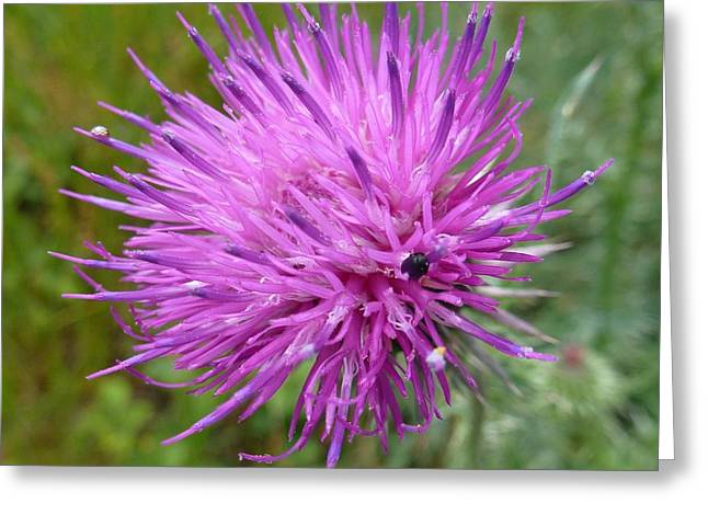 Purple Dandelions 2 Greeting Card