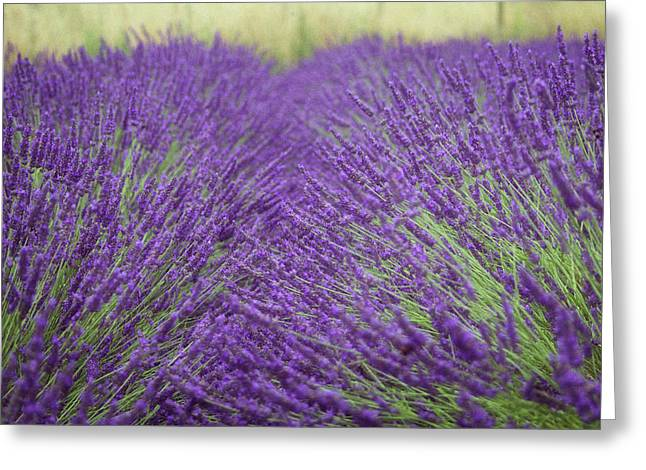 Purple Fields Of Lavender Greeting Card