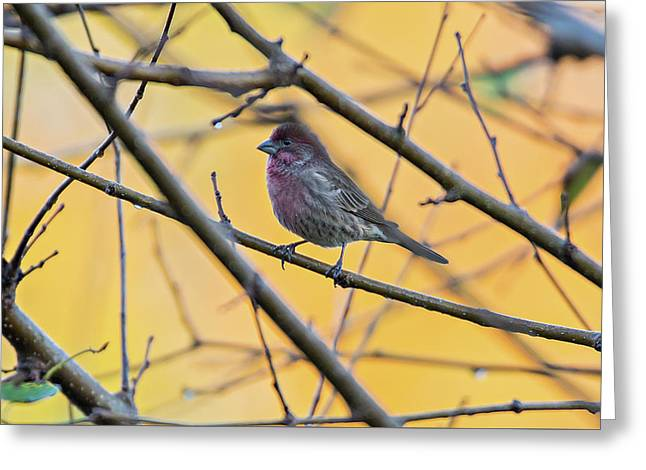 Purple Finch Bird Sitting On Tree Branch With Yellow Background Greeting Card by Alex Grichenko
