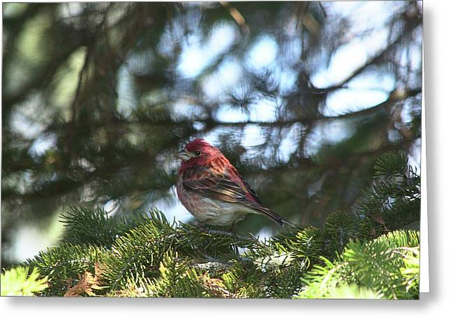 Purple Finch Greeting Card