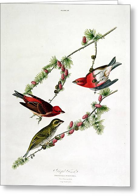 Purples Greeting Cards - Purple Finch Greeting Card by John James Audubon