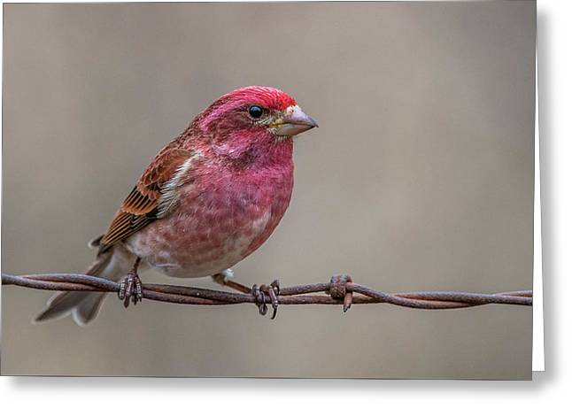 Greeting Card featuring the photograph Purple Finch On Barbwire by Paul Freidlund