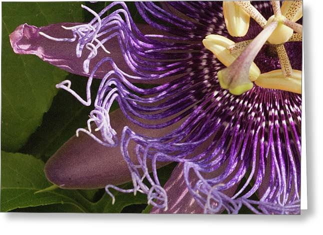 Greeting Card featuring the photograph Purple Fine View Passion Flower by Michael Flood