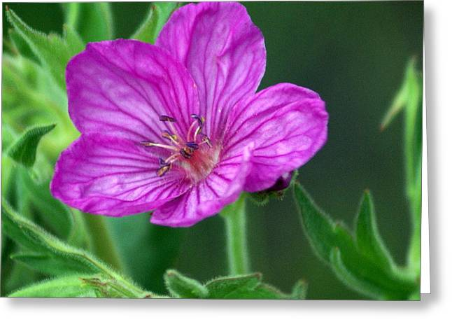 Marty Koch Greeting Cards - Purple Flower 2 Greeting Card by Marty Koch