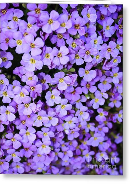 Purple Flowers - Rockcress Greeting Card by Carol Groenen