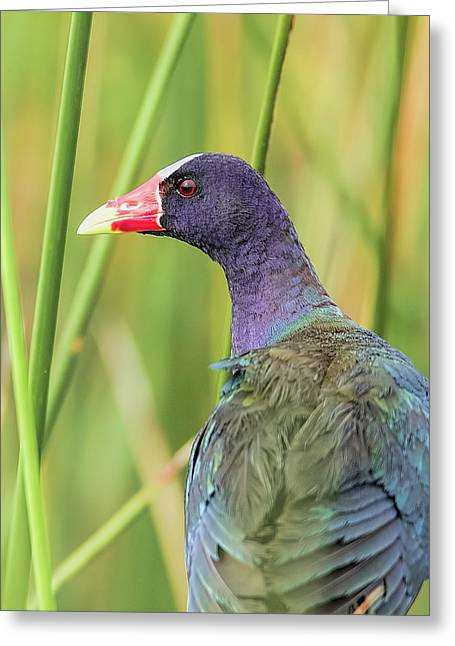 Purple Gallinule Greeting Card