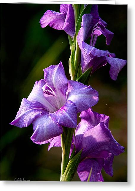 Purple Glads Greeting Card by Christopher Holmes