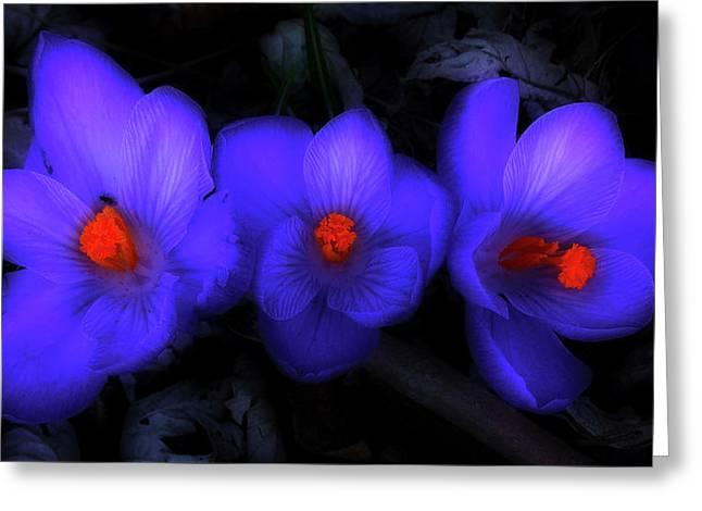 Beautiful Blue Purple Spring Crocus Blooms Greeting Card