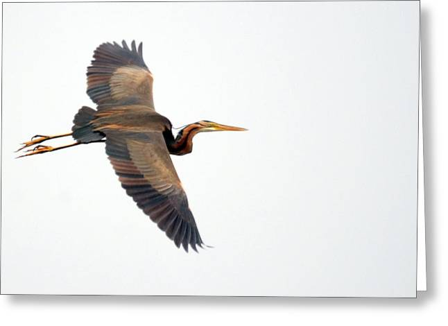 Purple Heron In Flight Greeting Card