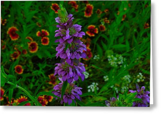 Purple Horsemint Greeting Card by Dennis Nelson