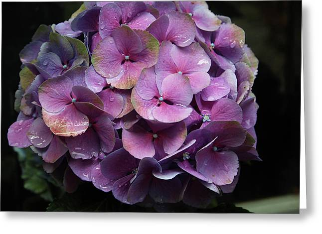 Purple Hydrangea- By Linda Woods Greeting Card by Linda Woods