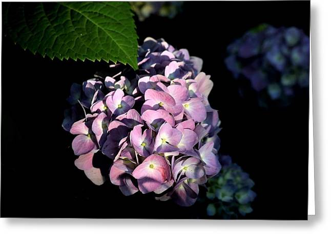 Greeting Card featuring the photograph Purple Hydrangea In Morning Light by Sheila Brown