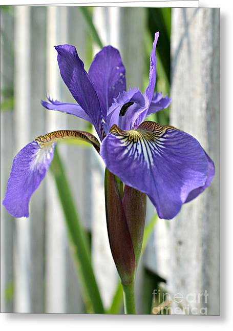 Purple Iris At The Fence Greeting Card