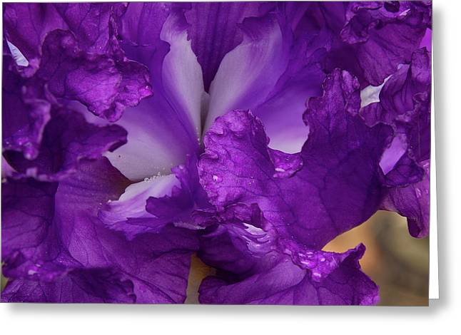 Greeting Card featuring the photograph Purple Iris Close Up by Jean Noren