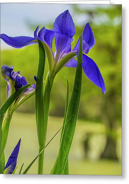 Purple Iris Greeting Card by Steven Ainsworth