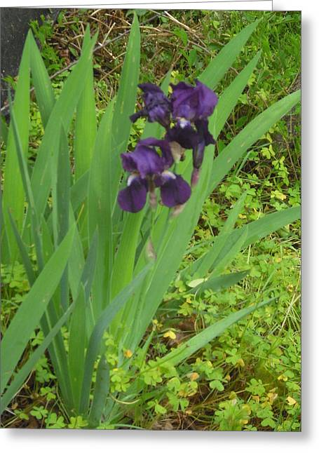 Purple Iris With Green Leaves Greeting Card by Sharon McKeegan