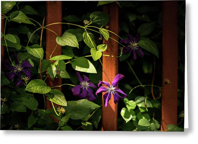 Purple Jackmanii Clematis Greeting Card by Onyonet  Photo Studios