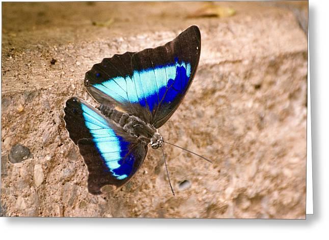 Purple King Shoemaker Butterfly Greeting Card