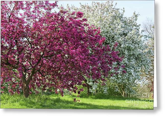 Purple Leaved Crab Apple Blossom In Spring Greeting Card