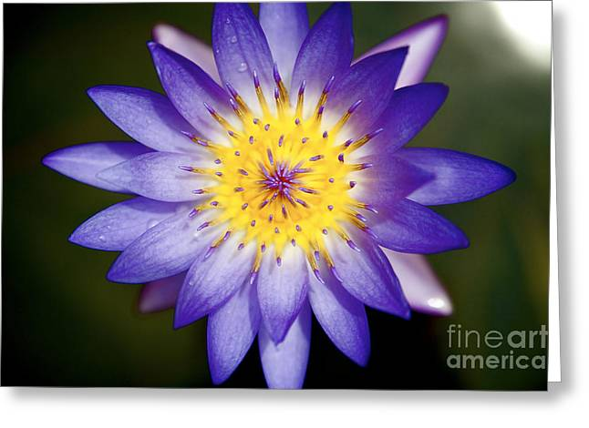 Purple Lily Greeting Card