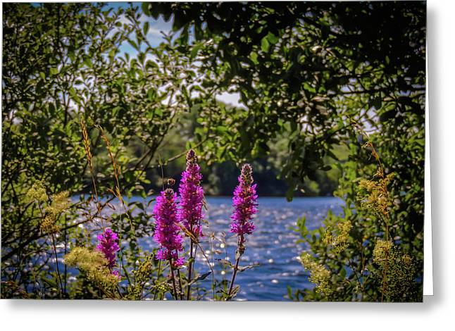 Greeting Card featuring the photograph Purple Loosestrife In The Irish Countryside by James Truett