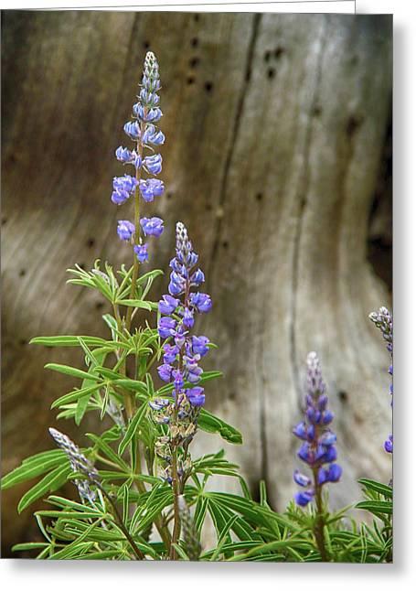 Purple Lupine Greeting Card