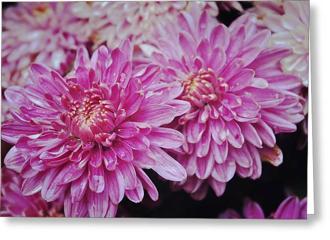 Purple Mums Greeting Card by JAMART Photography