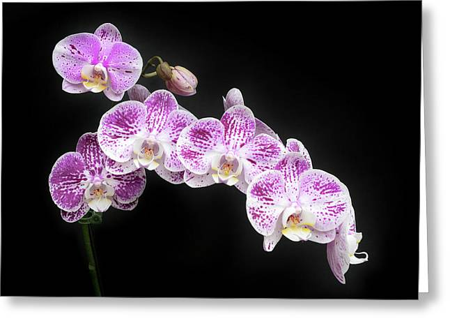 Greeting Card featuring the photograph Purple On White On Black by Denise Bird