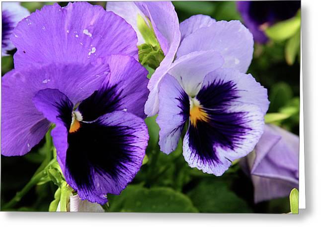 Purple Pansies Greeting Card by Toni Hopper