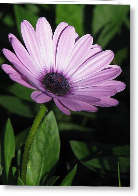 Purple Passion  Greeting Card by Staci-Jill Burnley