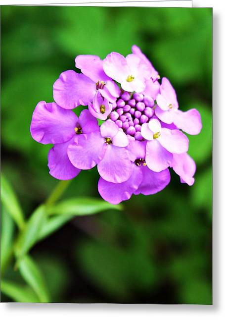 Purple Pincushion Flower Greeting Card by Cathie Tyler