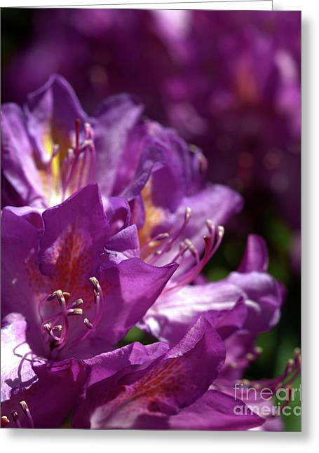 Purple Rhododendron Greeting Card by Stephen Melia