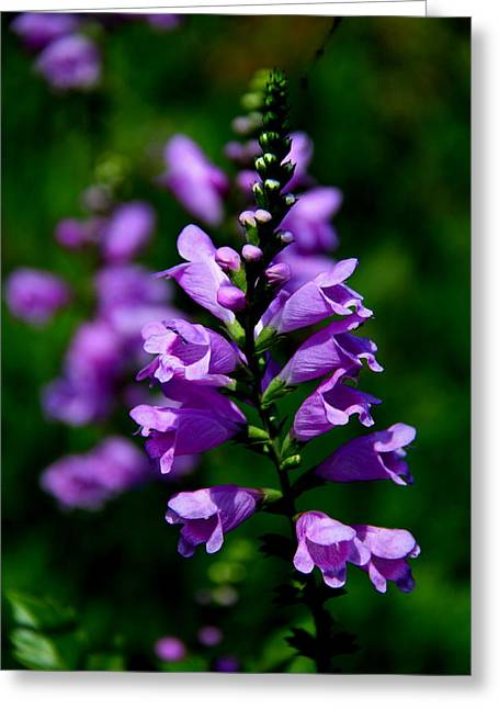 Skullcap Greeting Cards - Purple Skullcap Bloom Greeting Card by Barbara Bowen