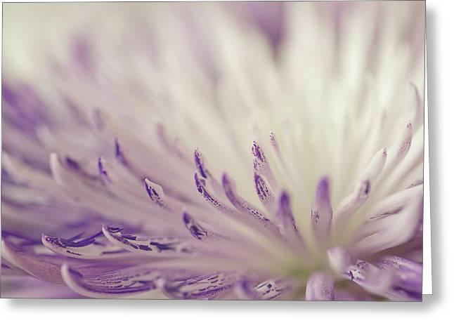 Purple Spider Mum Macro Greeting Card