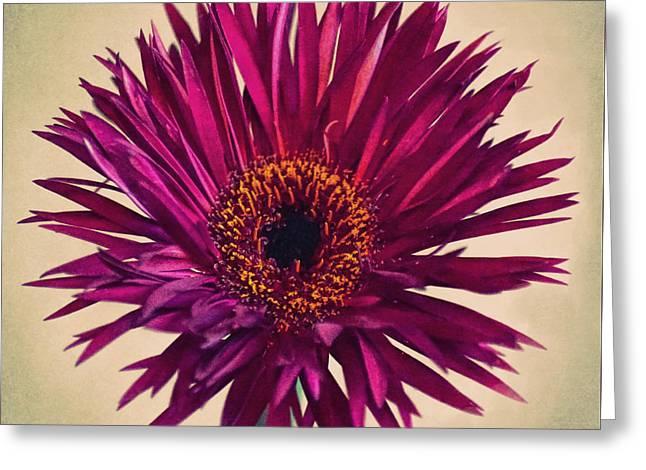 Purple Springs Spider Gerbera Daisy  Greeting Card