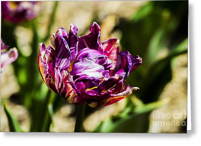 Greeting Card featuring the photograph Purple Striped Tulip by Angela DeFrias