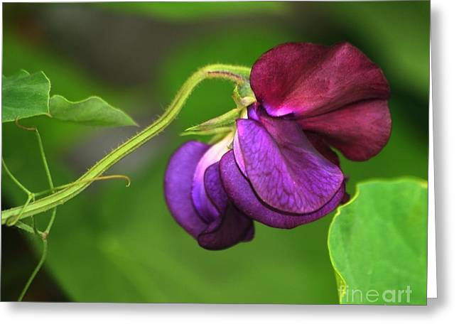 Purple Sweet Pea Greeting Card