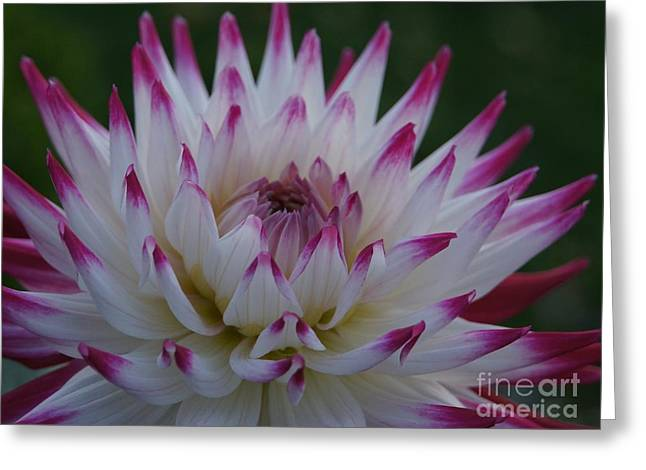 Purple Tipped Starburst Dahlia Greeting Card